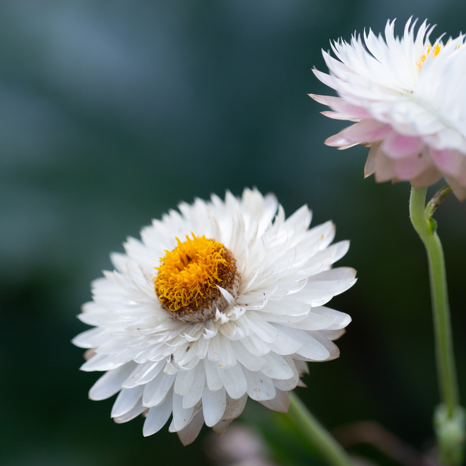 マクロレンズ花の柔らかい質感まで伝わってきます。